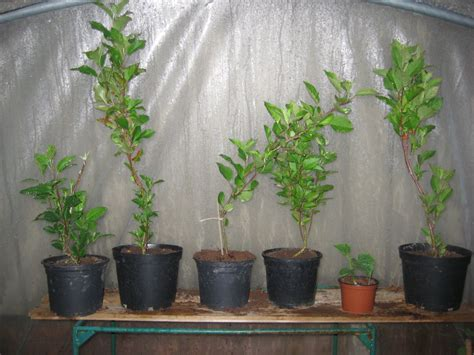 Growing Apple Trees From Seed